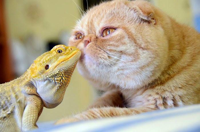 ödla och katt1