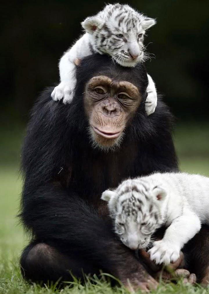 apa och tiger2
