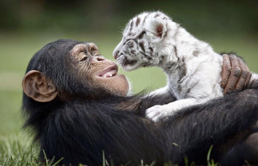 apa och tiger3