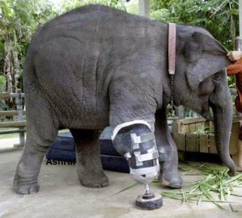elefant och protes1