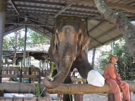 elefant och protes2