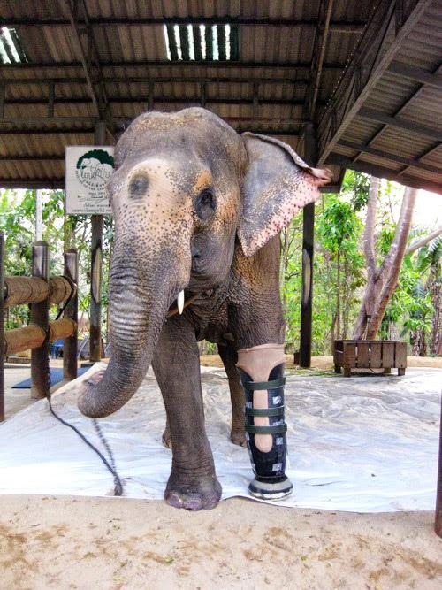 elefant och protes3