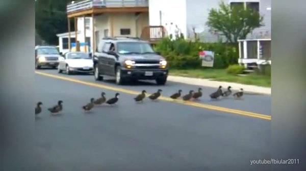 förare stoppar trafik för anka