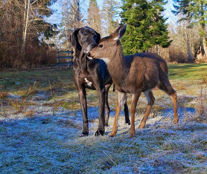 hund och hjort