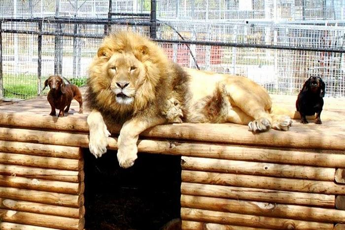 hund och lejon1