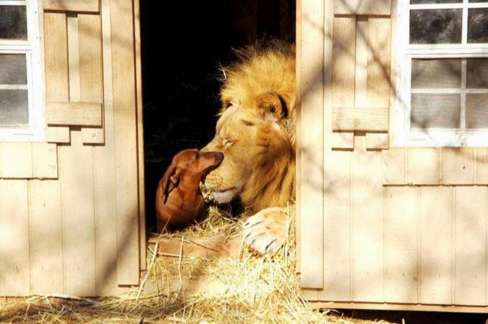 hund och lejon2