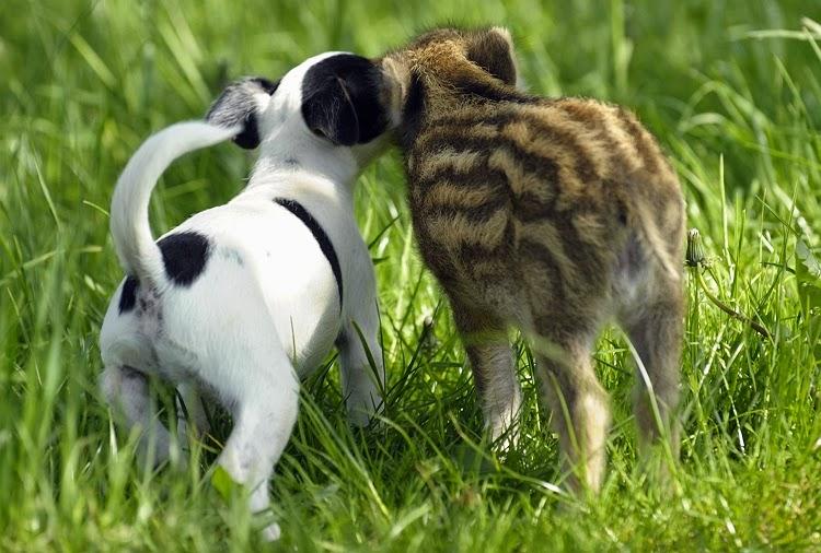 hund och vildsvin1