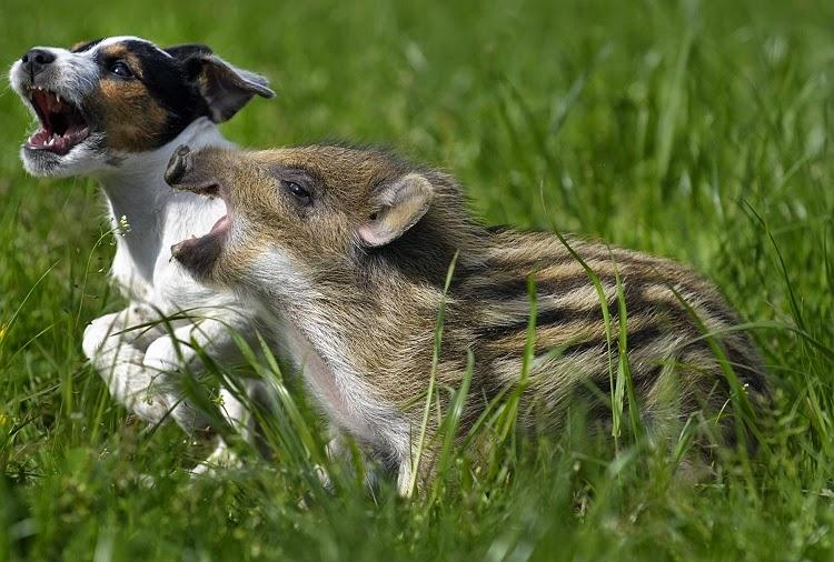 hund och vildsvin2