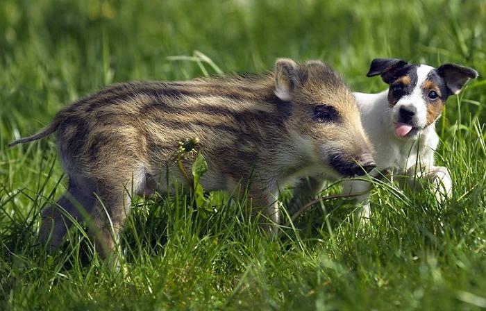 hund och vildsvin3