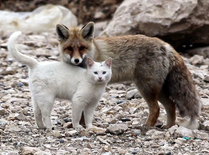 katt och räv2