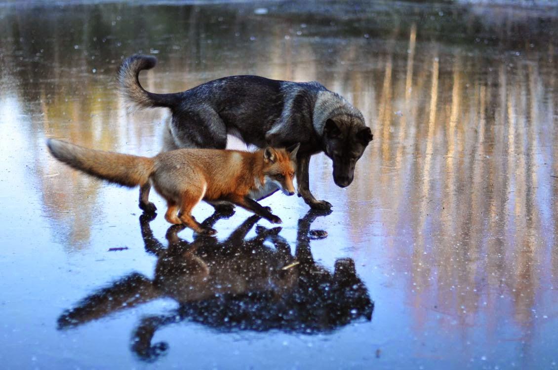 räv och hund2