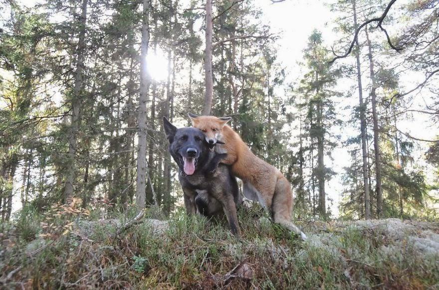 räv och hund3