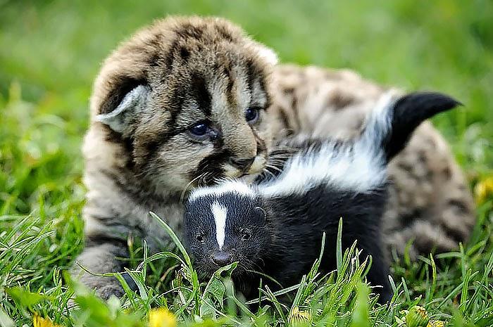 skunk och tiger1