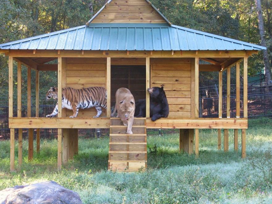 tiger,lejon,björn2